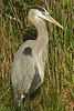 Great Blue Heron, Anhinga Trail, Everglades NP