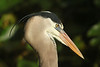 Great Blue Heron, Anhinga Trail, Everglades NP (1)
