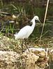 Snowy Egret, Loop Rd