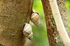 Florida Tree Snail (Liguus fasciatus), Nature Trail, Loop Rd  (1)