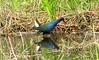Purple Gallinule, Loop Rd