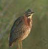 Green Heron, Anhinga Trail, Everglades NP, FL