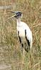 Wood Stork, Loop Rd