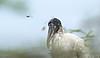 Wood Stork, Loop Rd  deep in woods and mist