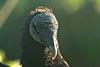 Black Vulture, early morning   Anhinga Trail