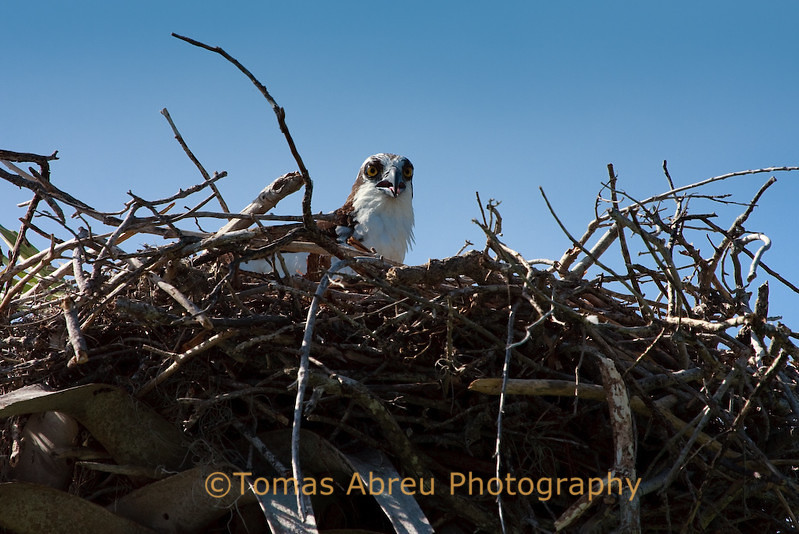 Osprey chick in nest