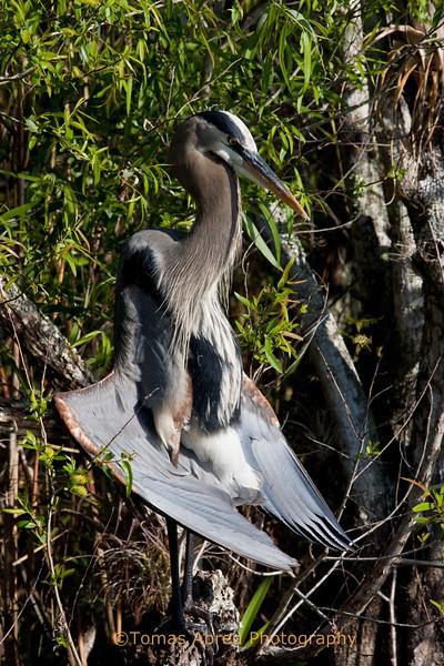 Blue Heron sunbathing in the Everglades