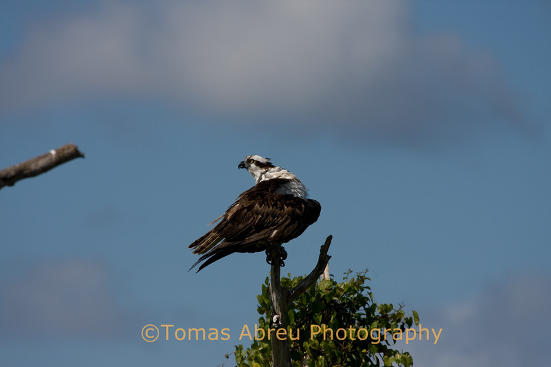 Osprey perched on tree