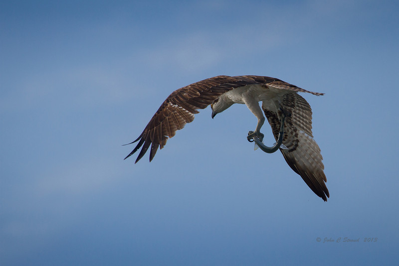 Osprey, with fresh catch, over Porpoise Point