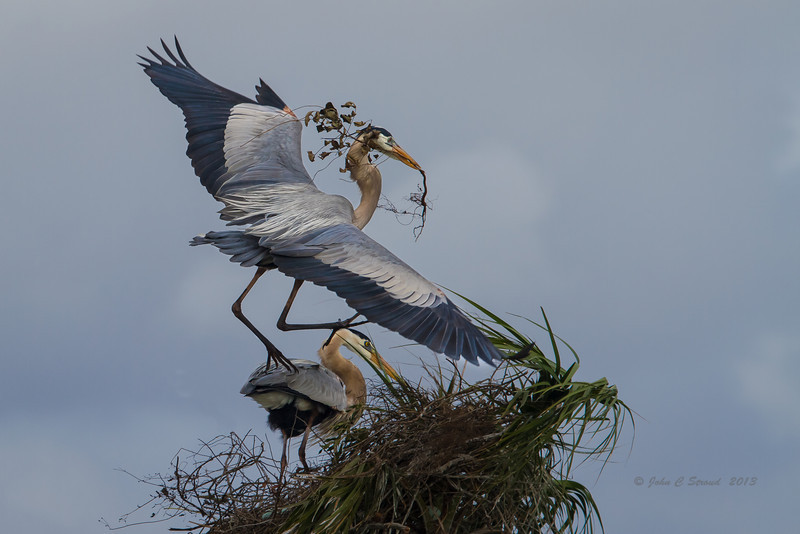 Nesting Great Blue Herons at Viera Wetlands