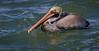Everglades Brown Pelican in breeding plummage
