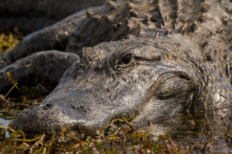 Everglades Crocodile