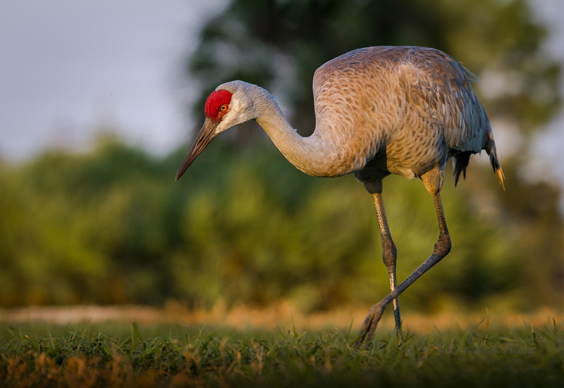 Sandhill Crane at Viera Wetlands - stands about 5 feet tall!
