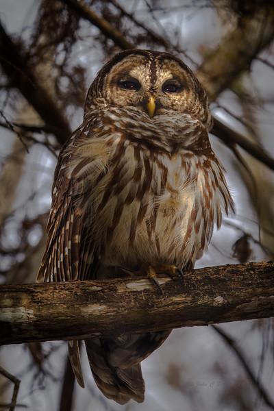 Barred Owl roosting near an alligator hammock in Everglades