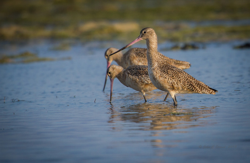 Marbled Godwits in Everglades flats