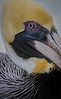 Brown Pelican close-up