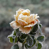 22. Frosted Rose