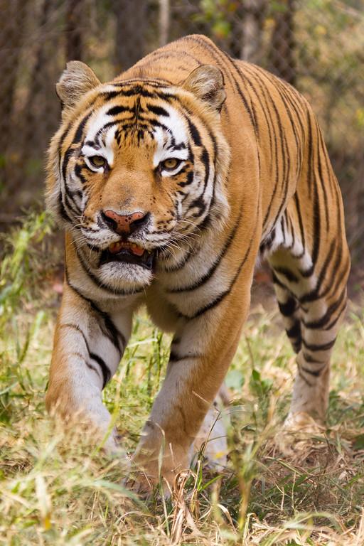 IMAGE: http://973photo.smugmug.com/Nature/Exotic-Feline-Rescue-2011/i-jjdp8bm/0/XL/Exotic-Feline-Rescue-Center-XL.jpg