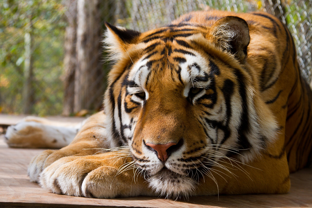 IMAGE: http://973photo.smugmug.com/Nature/Exotic-Feline-Rescue-2011/i-x8qCwVC/0/XL/Exotic-Feline-Rescue-Center-XL.jpg