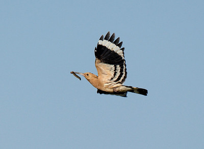 Hoopoe with food for young.