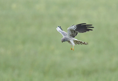 Male Montague's Harrier hunting.
