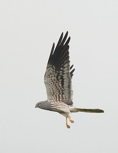 Male Montague's Harrier.