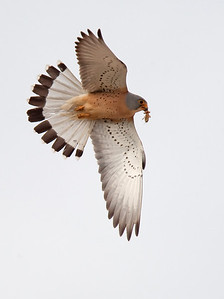 Male Lesser Kestrel bringing large insect in to nest.