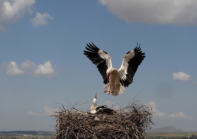 White stork pair at nest on grain tower.