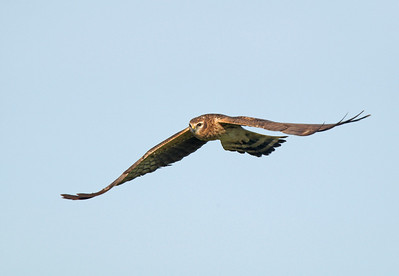 Female Montague's Harrier.