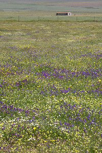 Wild flowers on the steppes of La Serena