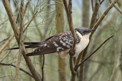 Great spotted cuckoo.