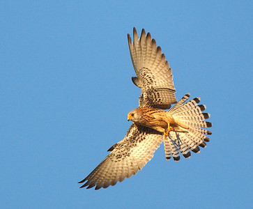 Female Lesser Kestrel.