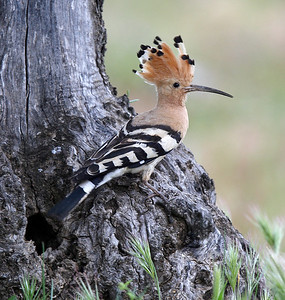 Hoopoe at nest hole low down in olive tree.