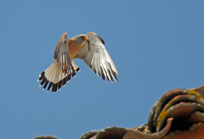 Male Lesser Kestrel bringing lizard in to nest
