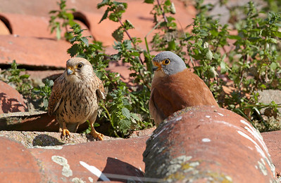 Lesser Kestrel pair at nest site