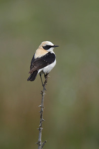 Male Black eared wheatear.