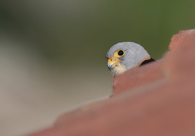 Male Lesser Kestrel.