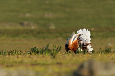 Male Great Bustard display