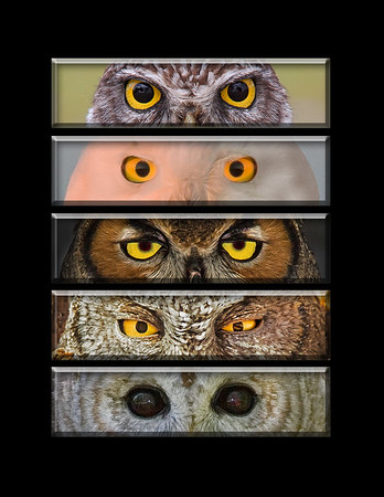 """This is a series of different owl eye images (burrowing, snowy, great horned, screech, barred).  Note: If purchasing this photo it should only be ordered in 8""""x10"""" or 16""""x20"""" for appropriate aspect ratio.     This photograph is protected by the U.S. Copyright Laws and shall not to be downloaded or reproduced by any means without the formal written permission of Ken Conger Photography."""