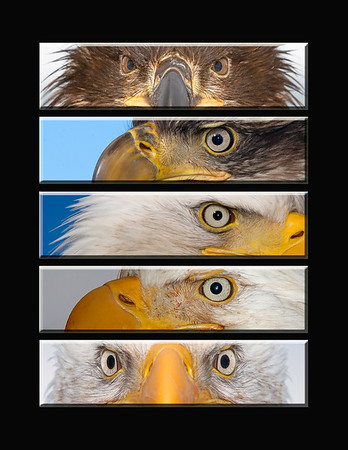 """This is a series of different Bald Eagle eye images (First year eagle, 4th year eagle, Bald Eagle (mature), Bald Eagle (mature), Bald Eagle (mature).  Note: If purchasing this photo it should only be ordered in 8""""x10"""" or 16""""x20"""" for appropriate aspect ratio.     This photograph is protected by the U.S. Copyright Laws and shall not to be downloaded or reproduced by any means without the formal written permission of Ken Conger Photography."""
