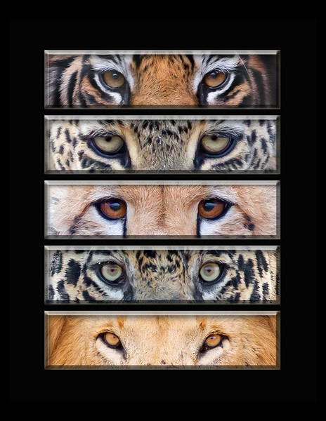 """This is a series of different cat eye images (tiger, leopard, cheetah, jaguar, lion).  Note: If purchasing this photo it should only be ordered in 8""""x10"""" or 16""""x20"""" for appropriate aspect ratio.     This photograph is protected by the U.S. Copyright Laws and shall not to be downloaded or reproduced by any means without the formal written permission of Ken Conger Photography."""