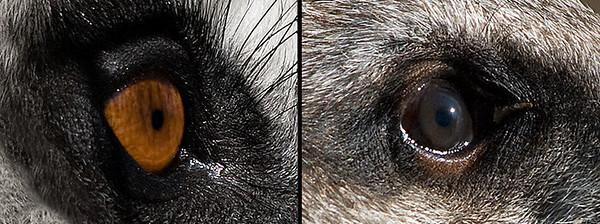 Lemur and Suricat Olympus E-3 and ZD 50-200 mm SWD + EC-14 Lisbon Zoo (2008)