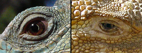 Green Iguana - Lisbon Zoo (Panasonic LX-2) Terrestrial Iguana - Isabella Island, Galapagos (Olympus c2100uz)