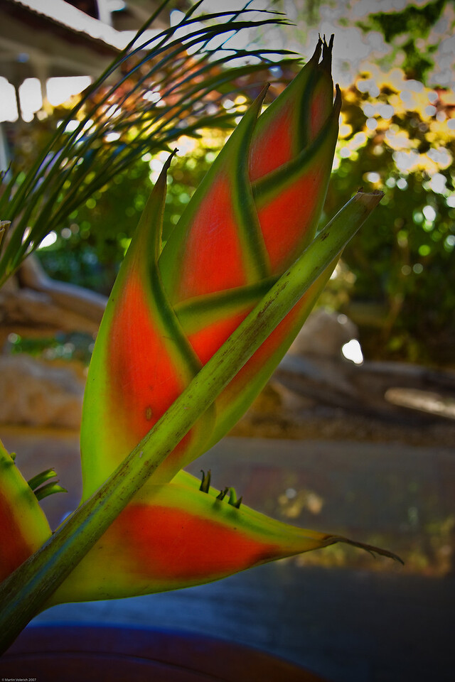 Watermelon Plant at the Melia Caribe Tropical, Punta Cana, Dominican Republic