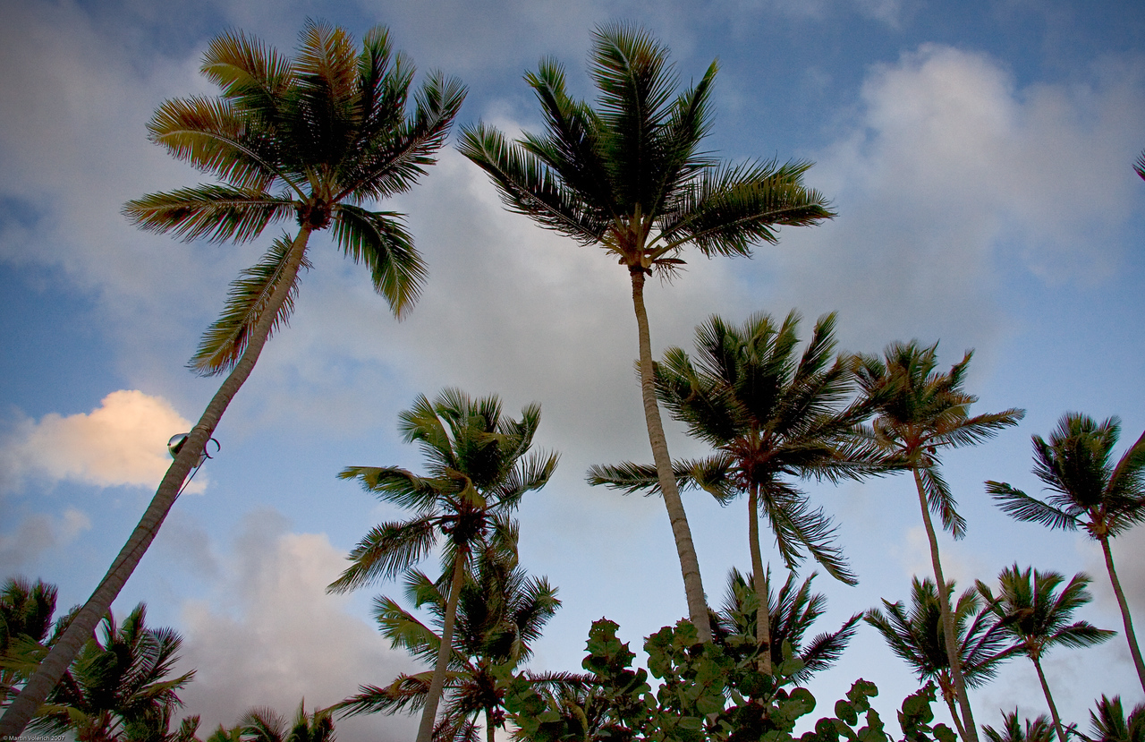Palm Trees at Melia Caribe Tropical, Punta Cana, Dominican Republic (taken by Jack Volerich)