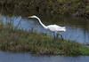 Alert hunting posture ... GREAT EGRET.