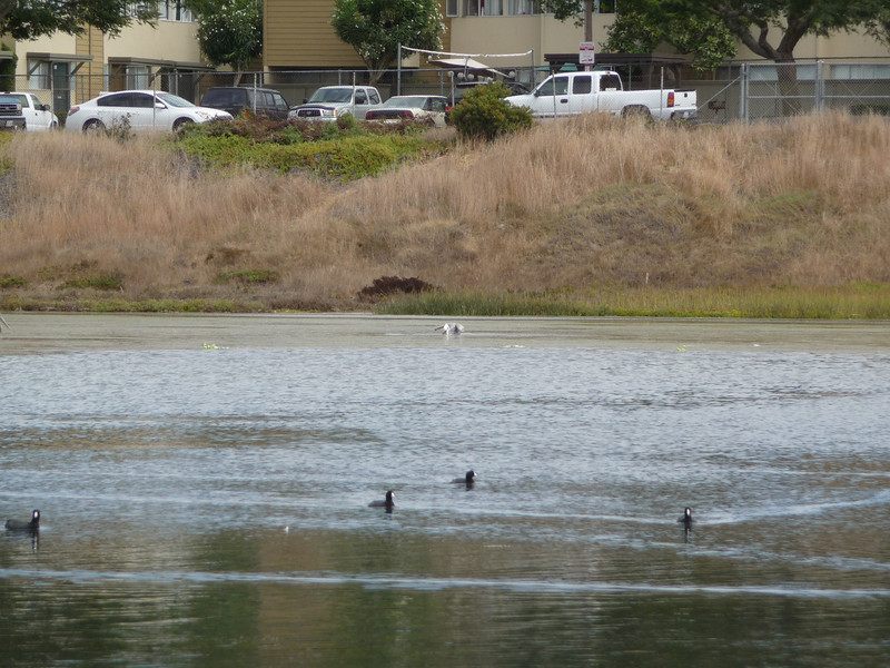 AMERICAN COOTS at Famosa Slough.