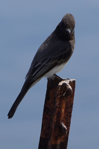 BLACK PHOEBE at lookout post.