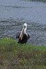 BROWN PELICAN stretching pouch... at Famosa Slough.