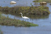 Hunting posture of GREAT EGRET.
